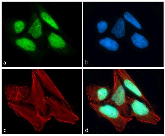CREB Antibody (701120)