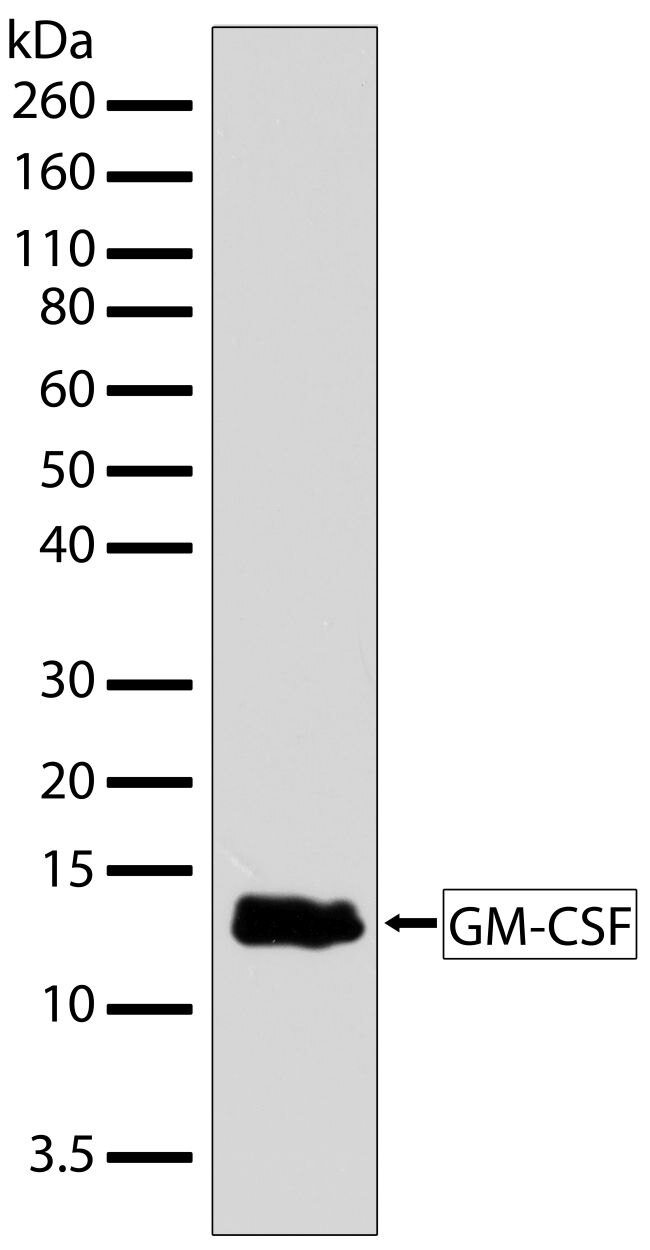 GM-CSF Antibody (701136)
