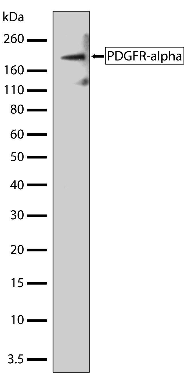 PDGFRA Antibody (701142) in Western Blot