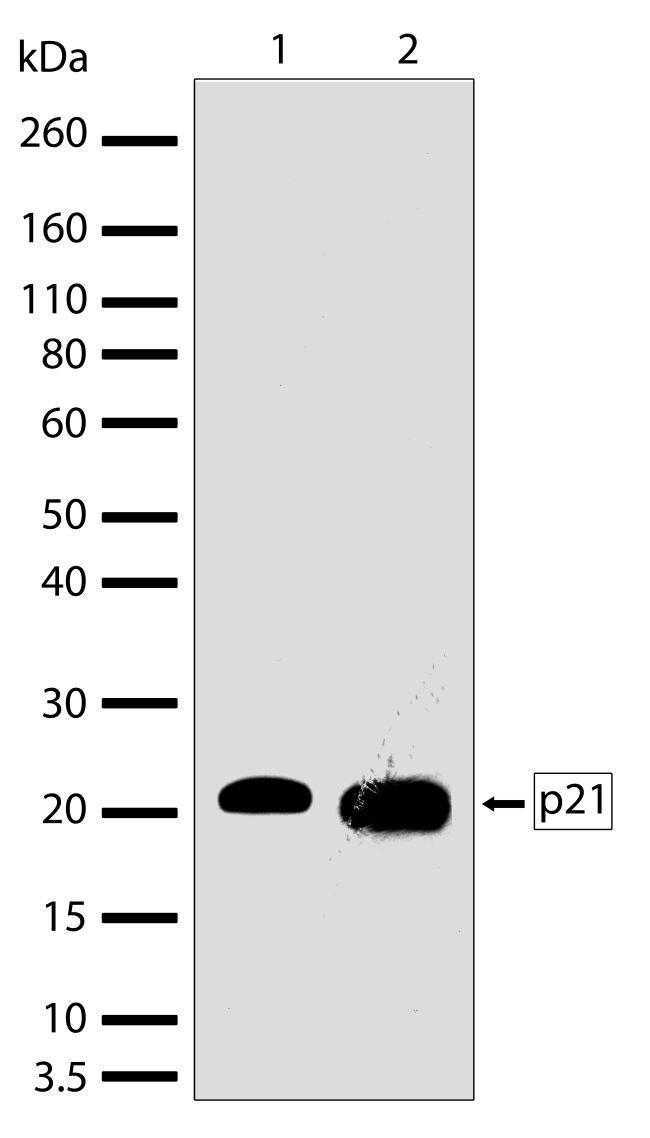 p21 Antibody (701151) in Western Blot