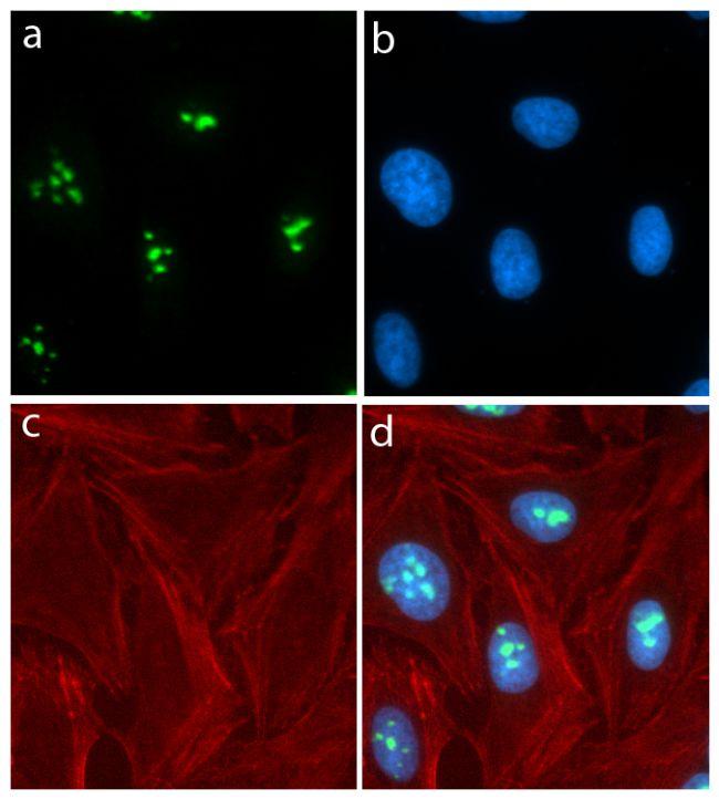 GNL3 Antibody (701157) in Immunofluorescence