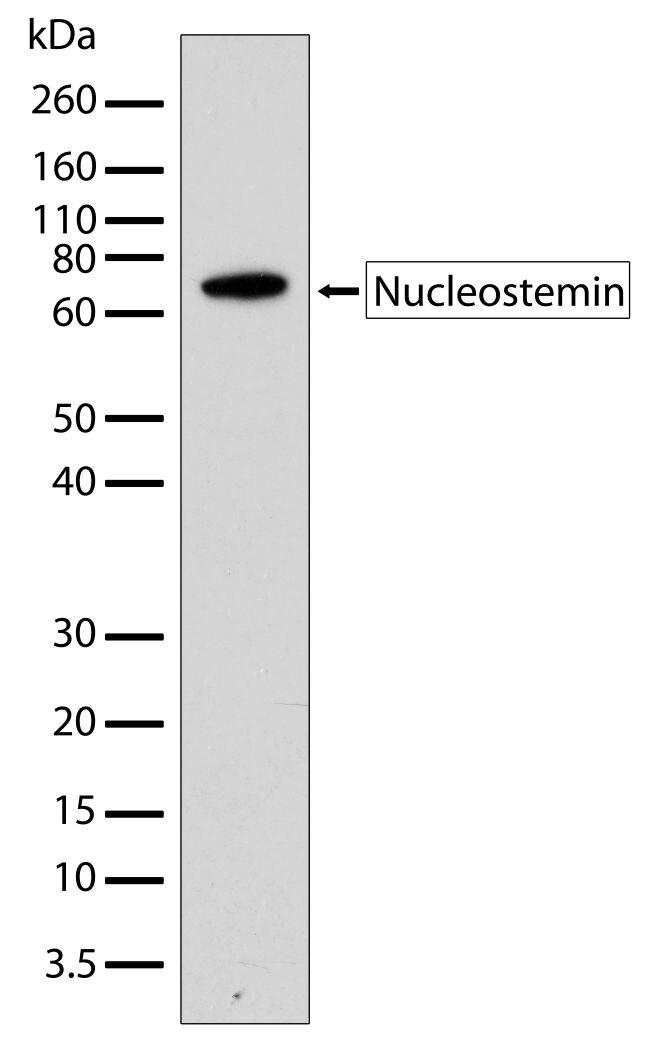 GNL3 Antibody (701157) in Western Blot