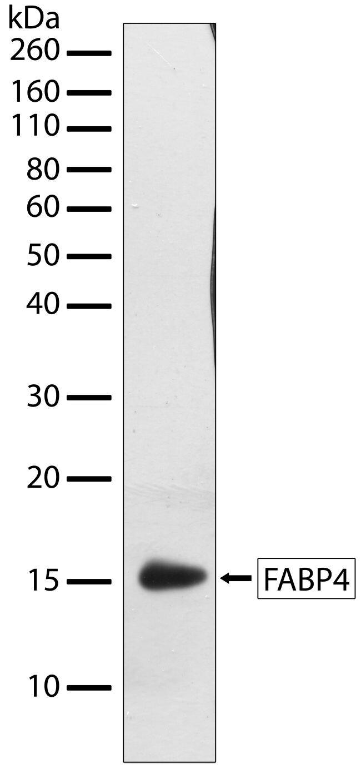 FABP4 Antibody (701158) in Western Blot