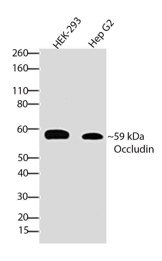 Occludin Antibody (701161) in Western Blot