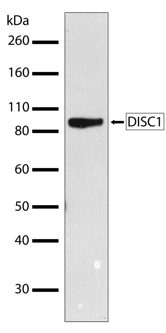 DISC1 Antibody (701172) in Western Blot
