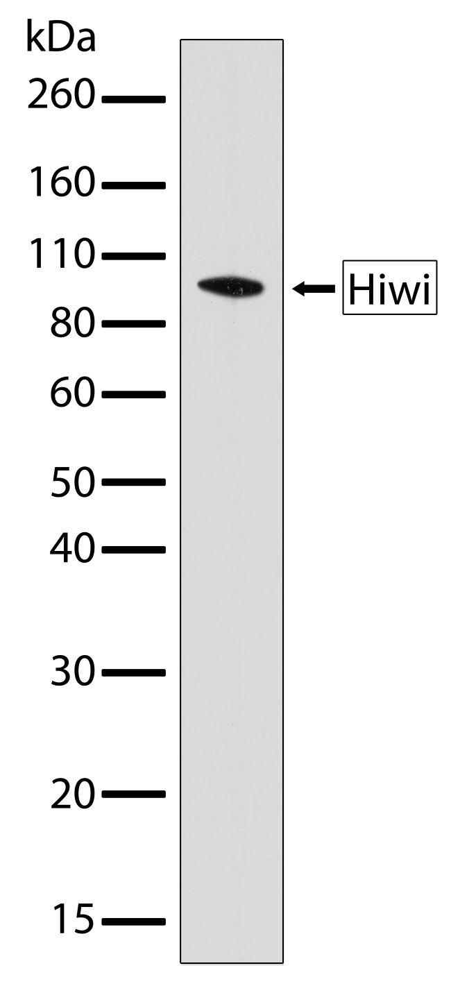 PIWIL1 Antibody (701177) in Western Blot