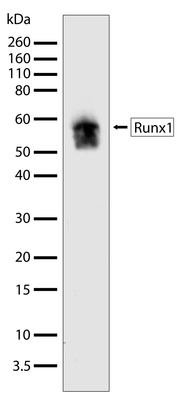 RUNX1 Antibody (701202) in Western Blot