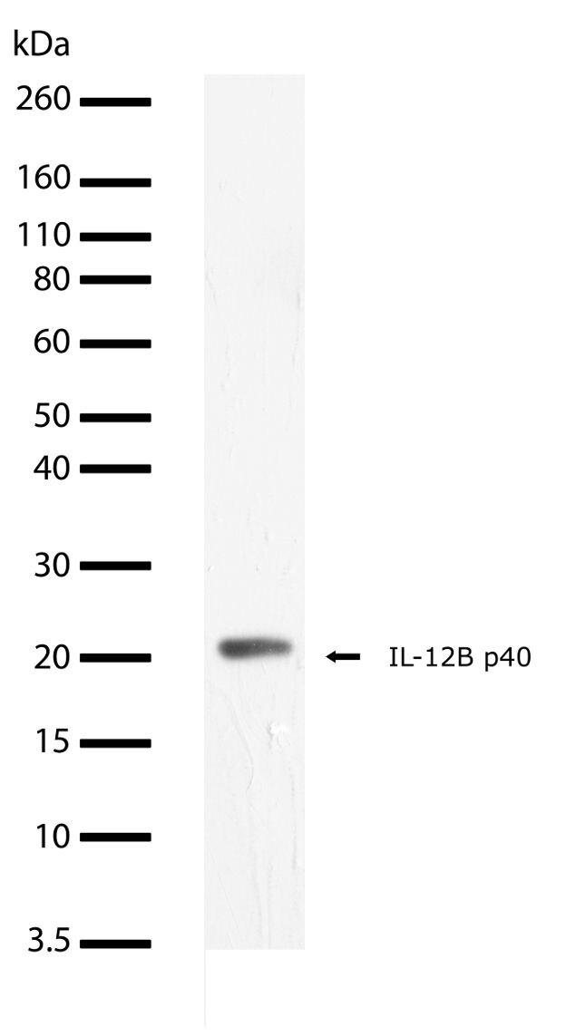 IL-12 p40 Antibody (701233)