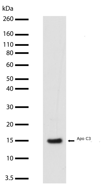Apolipoprotein C3 Antibody (701238) in Western Blot
