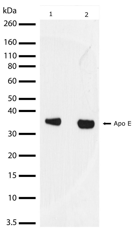 APOE Antibody (701241) in Western Blot