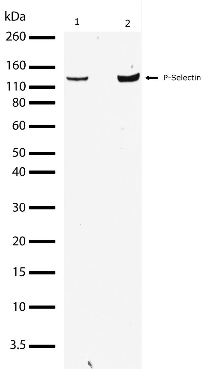 P-Selectin Antibody (701257) in Western Blot