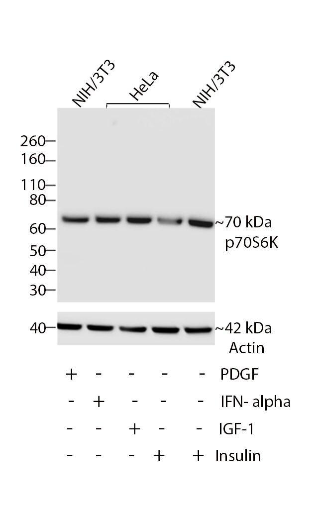 p70 S6 Kinase Antibody (701261) in Western Blot