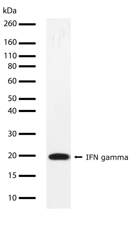IFN gamma Antibody (701263) in Western Blot