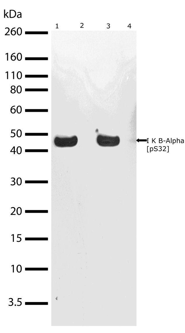 Phospho-IkB alpha (Ser32) Antibody (701271) in Western Blot
