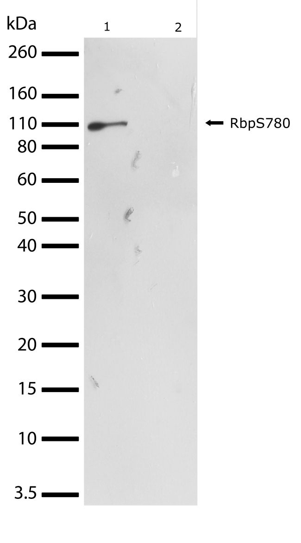 Phospho-Rb (Ser780) Antibody (701272) in Western Blot