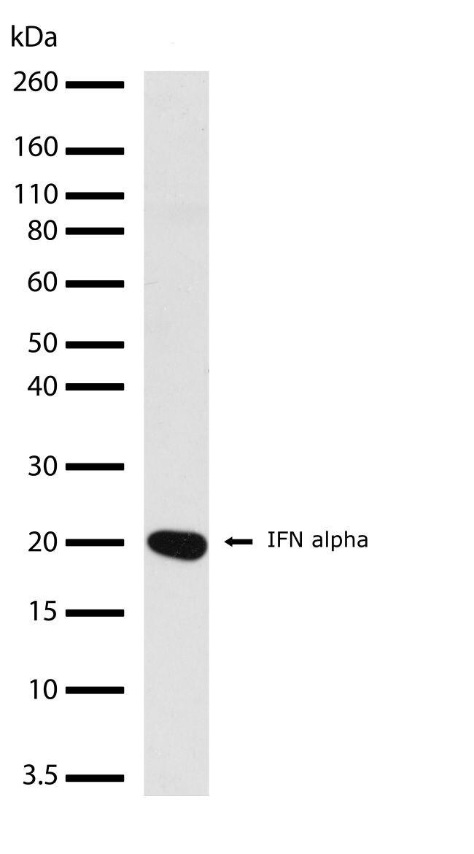 IFN alpha Antibody (701275)