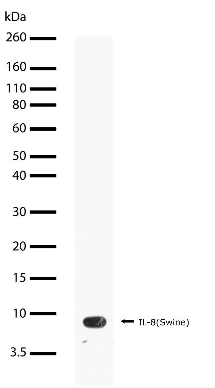 CXCL8 Antibody (701276) in Western Blot