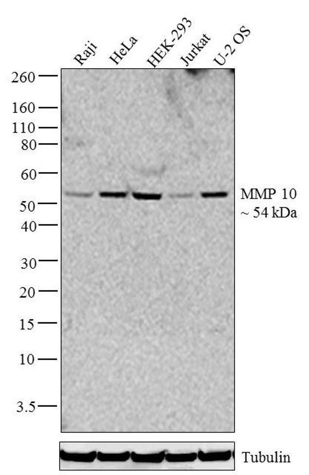 MMP10 Antibody (701288) in Western Blot