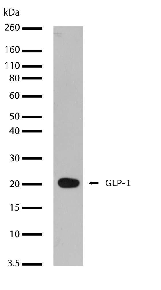 Glucagon-Like Peptide 1 Antibody (701296) in Western Blot