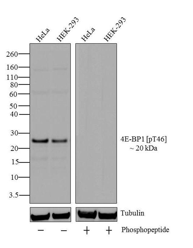 Phospho-4E-BP1 (Thr46) Antibody (701312) in Western Blot