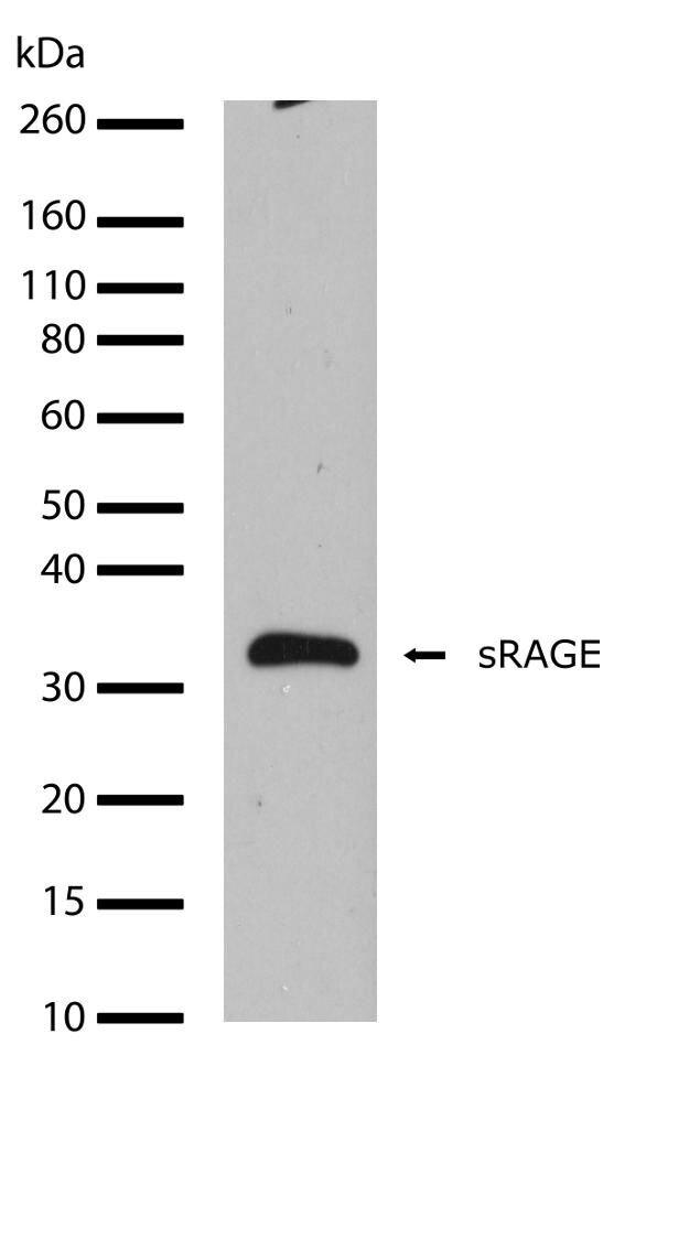 RAGE Antibody (701316)