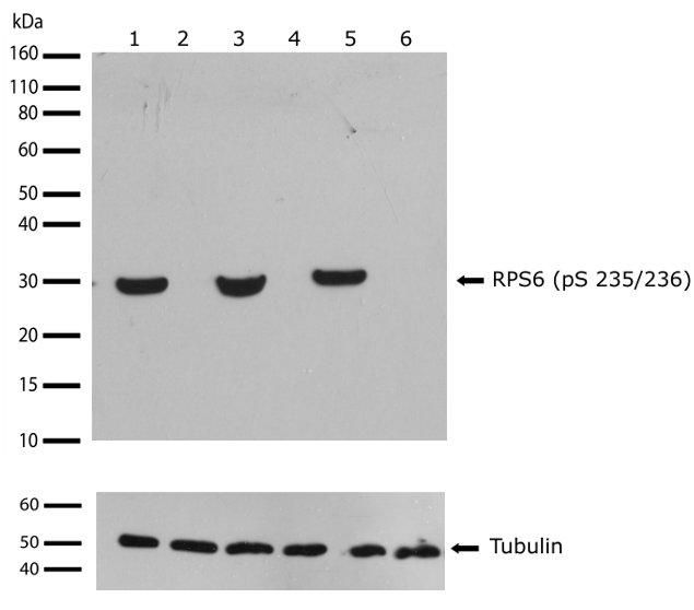 Phospho-S6 (Ser235, Ser236) Antibody (701363) in Western Blot