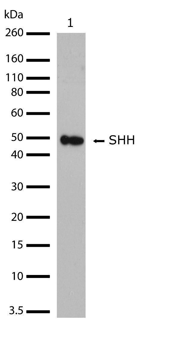 SHH Antibody (701403) in Western Blot