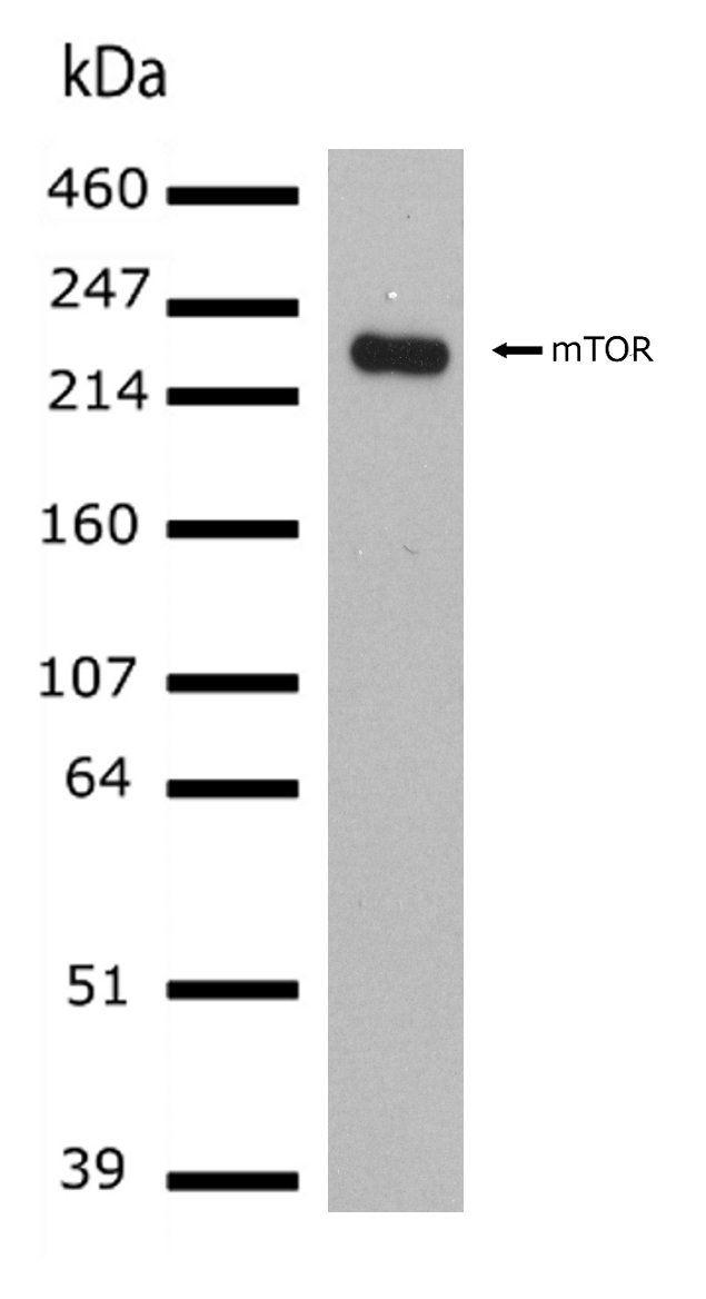 mTOR Antibody (701483) in Western Blot