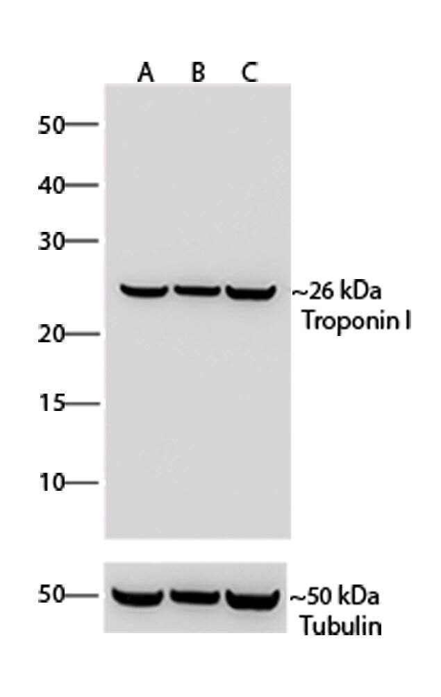 Troponin I Antibody (701585) in Western Blot
