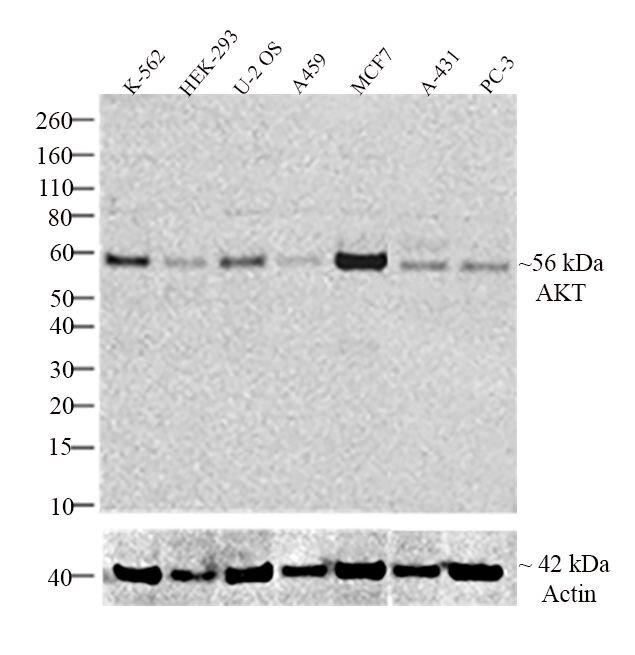 AKT1 Antibody (710005) in Western Blot