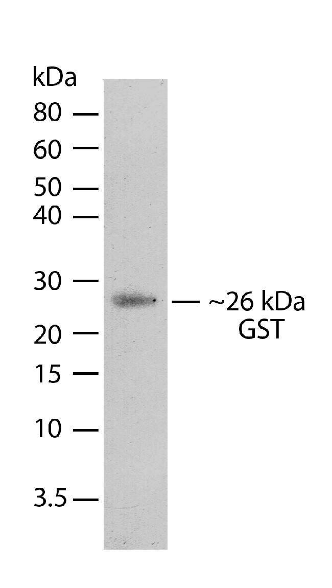 GST Tag Antibody (710011) in Western Blot