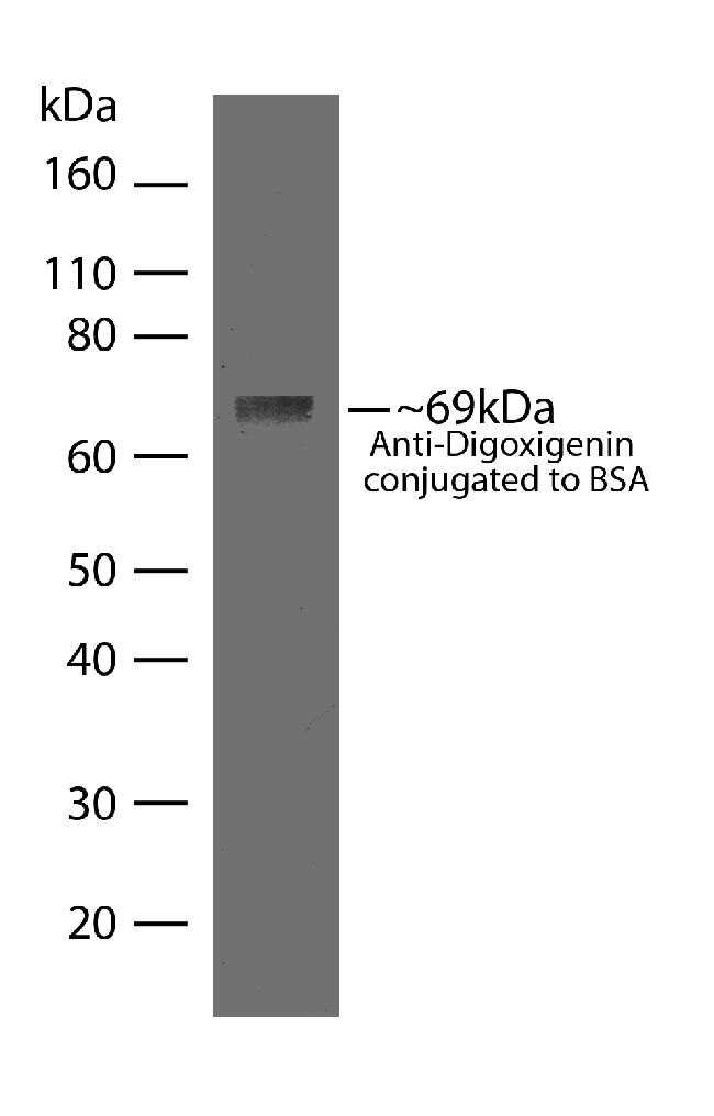 Digoxigenin Antibody (710019)