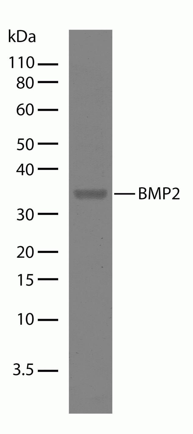 BMP-2 Antibody (710022) in Western Blot