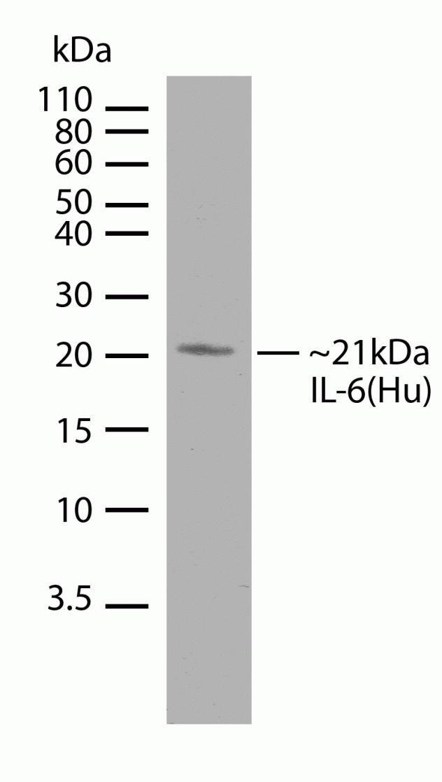 IL-6 Antibody (710042) in Western Blot