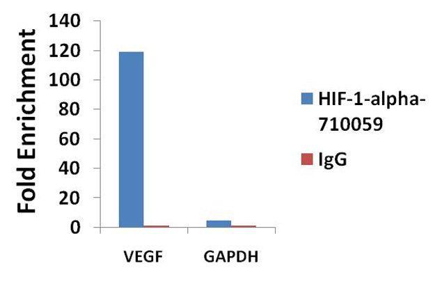 HIF1A Antibody (710059) in ChIP assay
