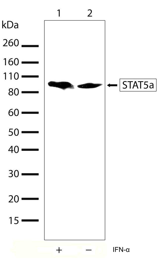 STAT5 alpha Antibody (710073) in Western Blot
