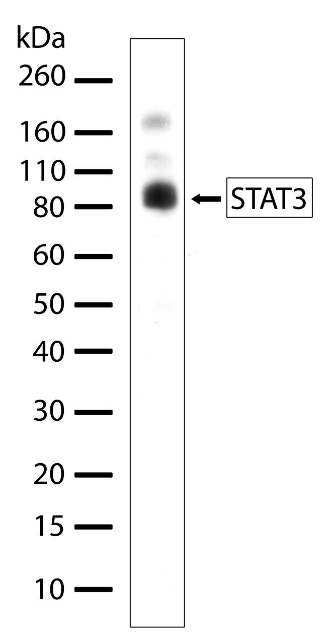 STAT3 Antibody (710077) in Western Blot