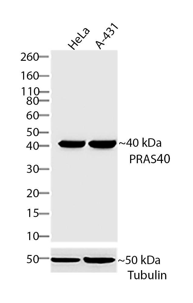 PRAS40 Antibody (710079)