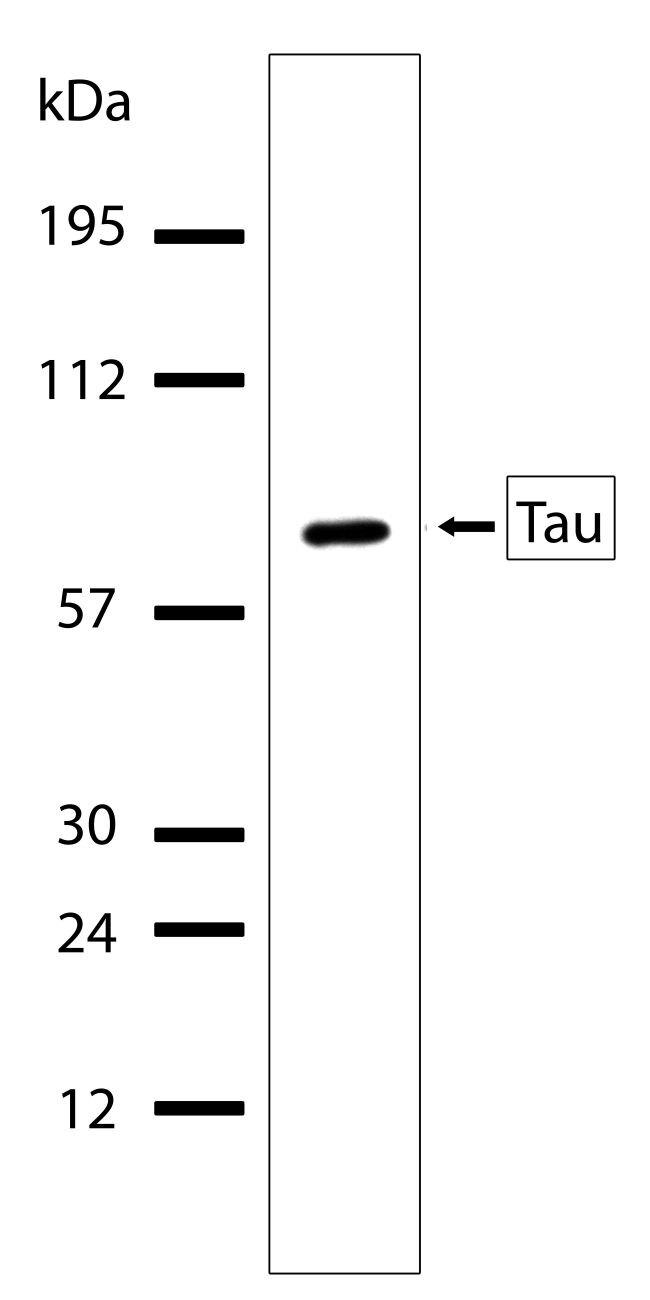Tau Antibody (710080) in Western Blot