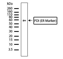 PDIA2 / PDIP Antibody (710081)