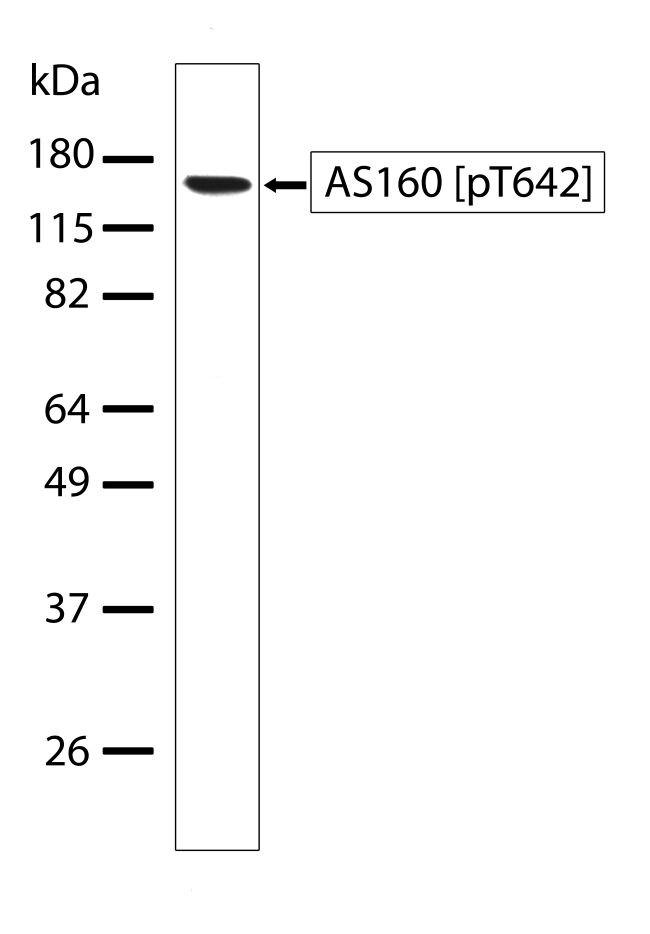 Phospho-AS160 (Thr642) Antibody (710105) in Western Blot