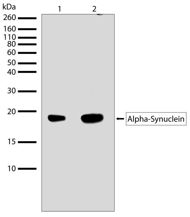 alpha Synuclein Antibody (710110) in Western Blot