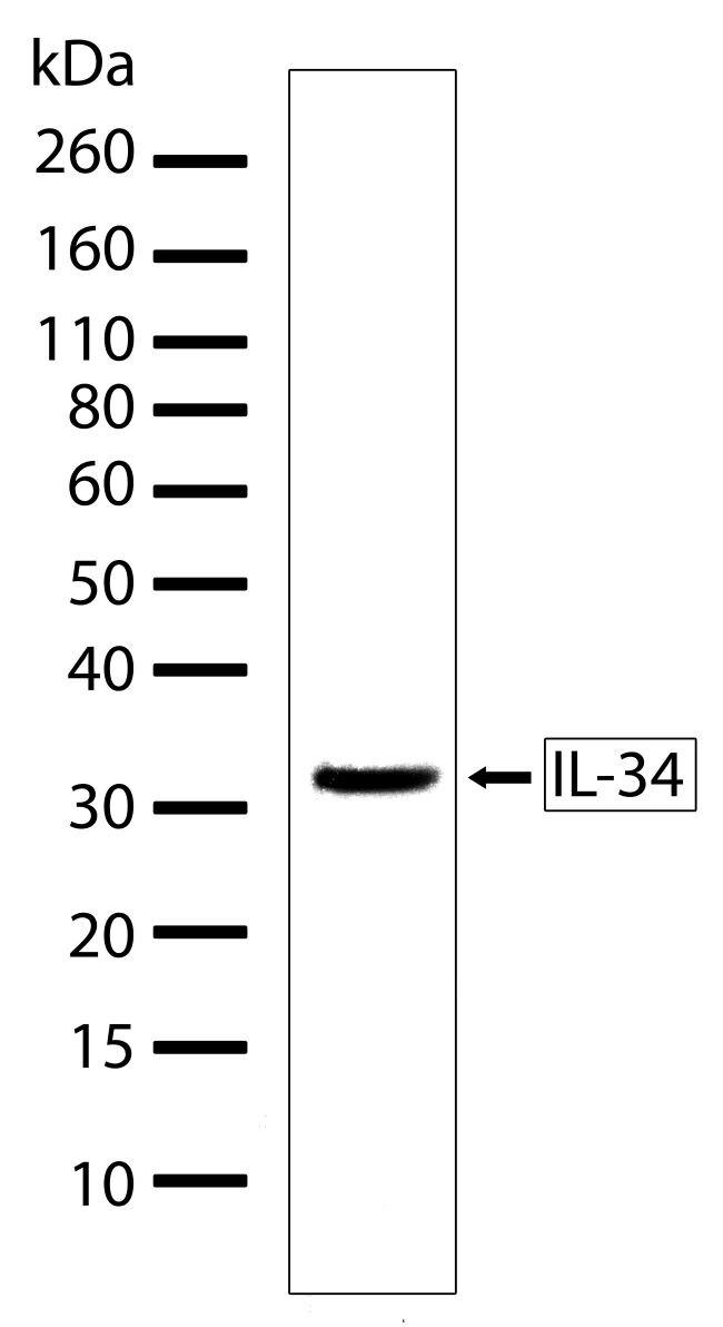 IL-34 Antibody (710114) in Western Blot