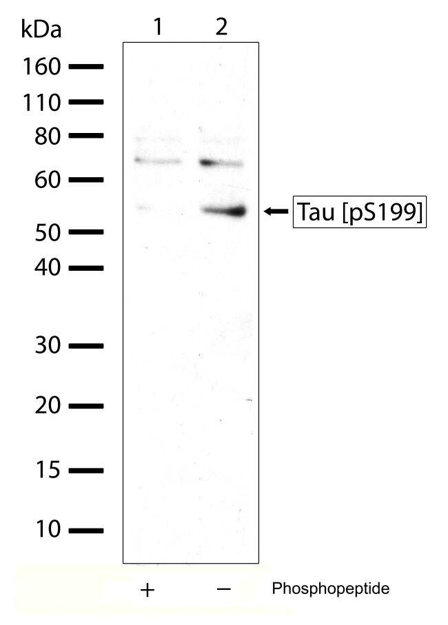 Phospho-Tau (Ser199) Antibody (710124) in Western Blot