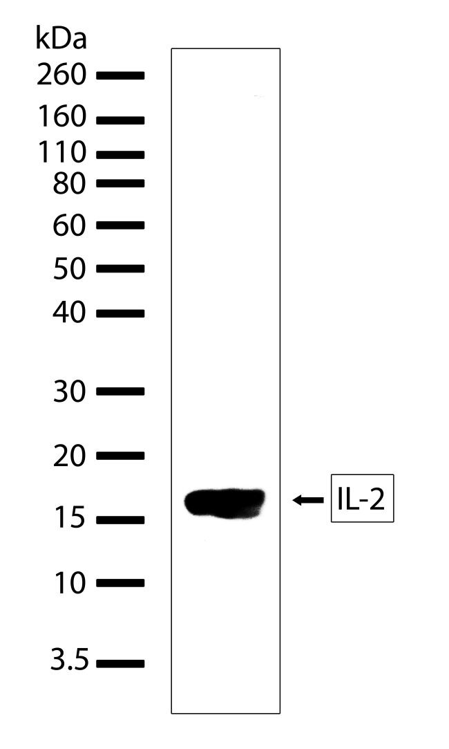 IL-2 Antibody (710146) in Western Blot