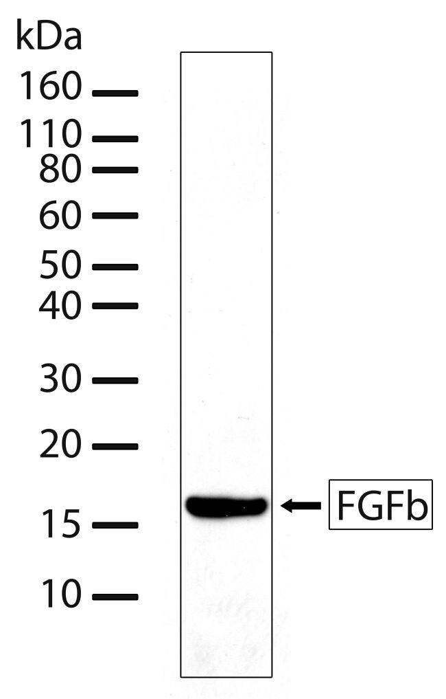 FGF2 Antibody (710148) in Western Blot