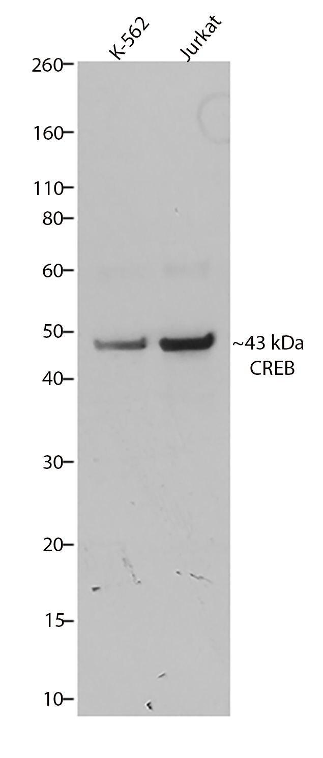 CREB Antibody (710149) in Western Blot
