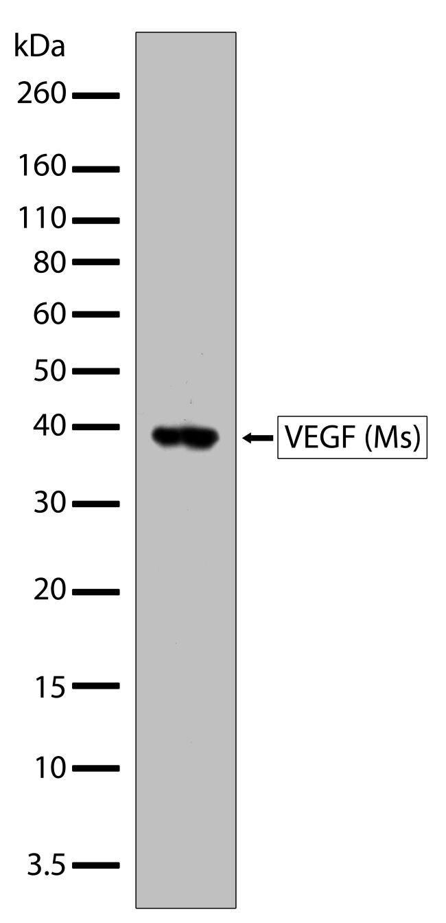 VEGF Antibody (710151)