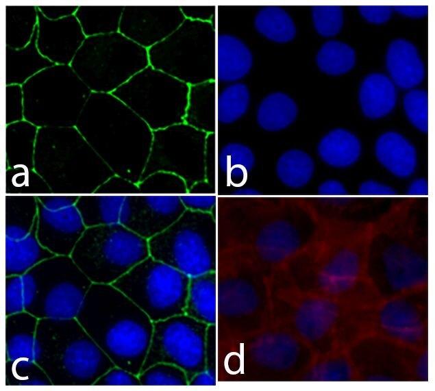 E-cadherin Antibody (710161) in Immunofluorescence