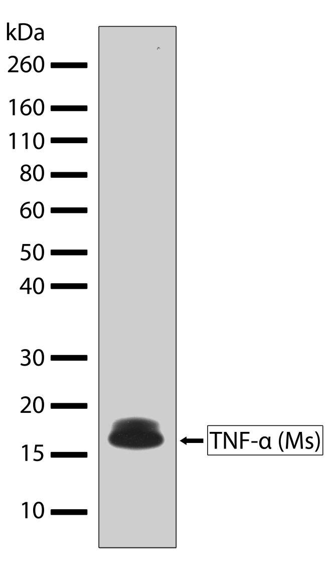 TNF alpha Antibody (710162) in Western Blot